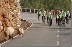 cycling and sheep